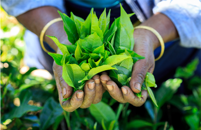 feature-images tea tourism
